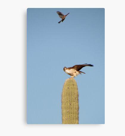 Red-tailed Hawk vs. American Kestrel II Canvas Print