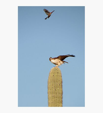 Red-tailed Hawk vs. American Kestrel II Photographic Print