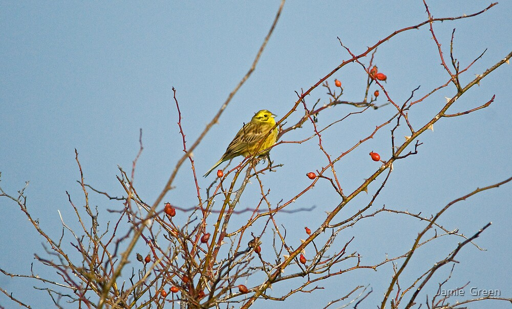 Yellowhammer And Rosehips by Jamie  Green