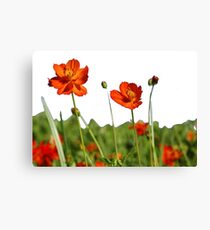 Red Cosmos Flower In A Meadow Isolated on White Canvas Print