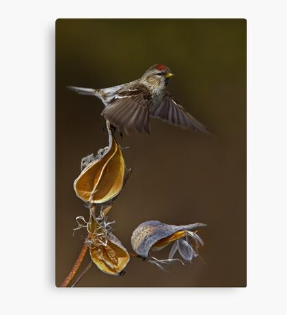 Redpoll Takes Flight Canvas Print