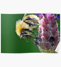 Common Carder Bee on Lavender Poster