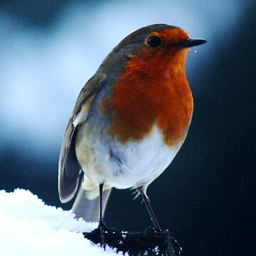 Robin Red Breast by guffman990