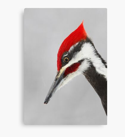 Pileated Woodpecker Portrait Canvas Print