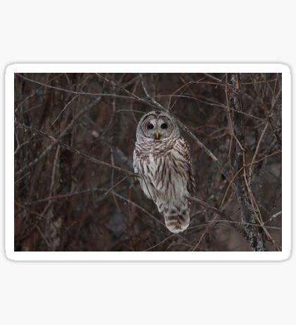 Barred Owl - Kanata, Ont Sticker
