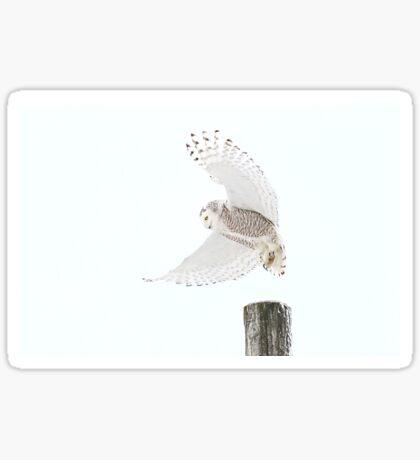 Startled - Snowy Owl Sticker