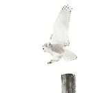 Startled 2 - Snowy Owl by Jim Cumming