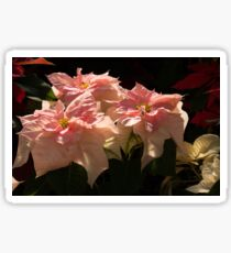 Sunny Pink Poinsettias - Exotic Color Christmas Greetings Sticker