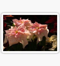 Sunny Pink Poinsettias Sticker