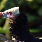 White-headed Vulture / Witkopgier by Jacqueline van Zetten