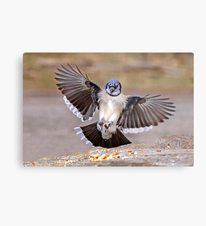 Blue Jay Lands Metal Print