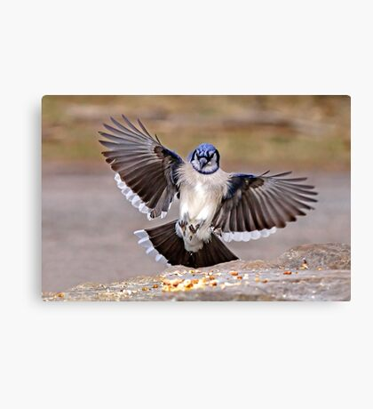 Blue Jay Lands Canvas Print