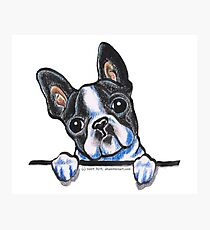 Curious Boston Terrier Photographic Print