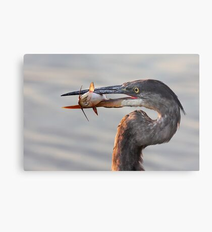 A fresh catch - Great Blue Heron Metal Print