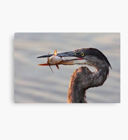 A fresh catch - Great Blue Heron Canvas Print