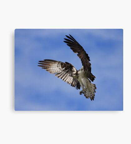 Osprey Wingspan Canvas Print