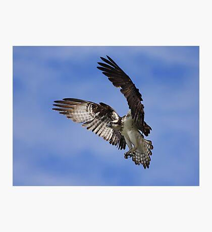 Osprey Wingspan Photographic Print
