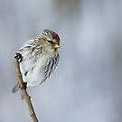 Redpoll by Wayne Wood