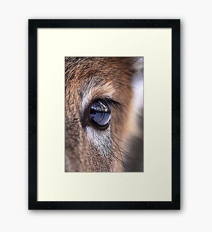Now thats an eyefull! - White-tailed Deer Framed Print