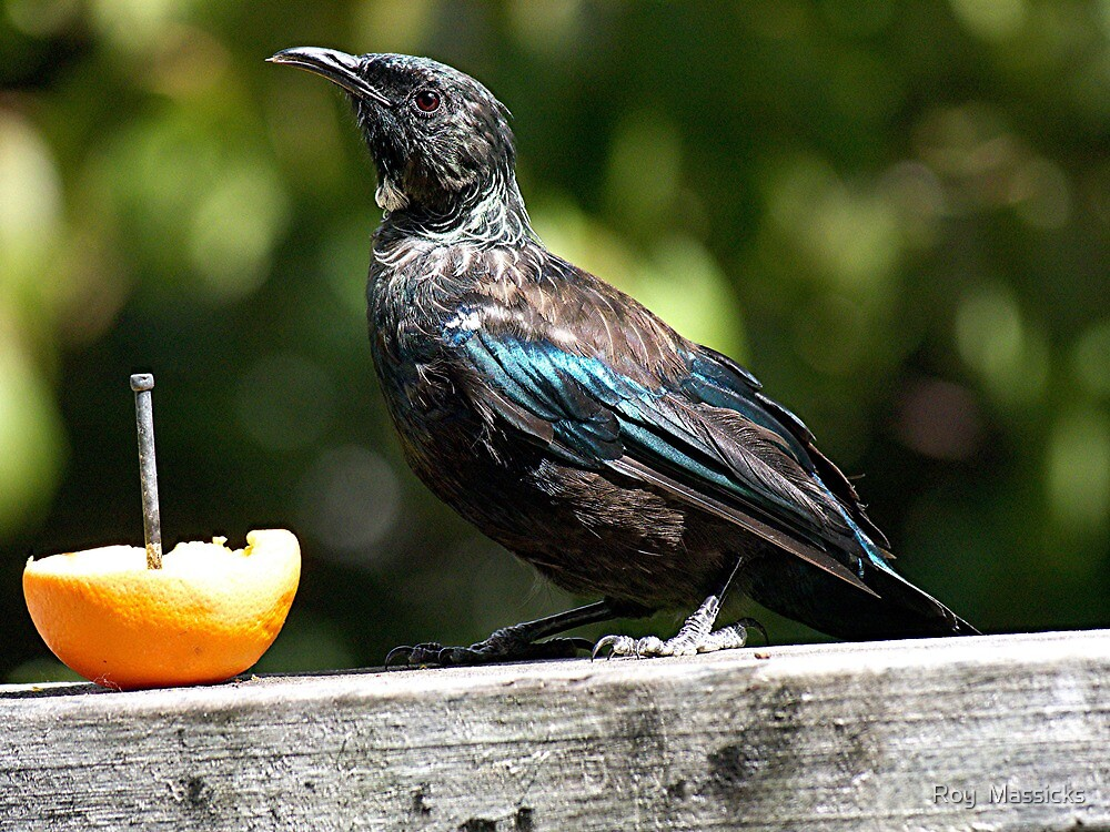 The new generation of Tui..........in my garden ! by Roy  Massicks