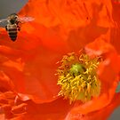 Poppy Love by Kate Farkas