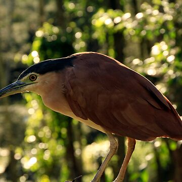 Rufus Or Night Heron by NoelElliot
