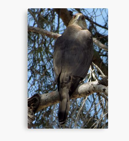 Coopers Hawk ~ Over the Shoulder Canvas Print
