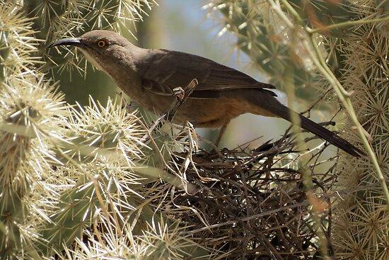 Curved-bill Thrasher ~ Nesting 2013 by Kimberly Chadwick
