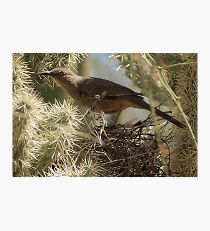 Curved-bill Thrasher ~ Nesting 2013 Photographic Print