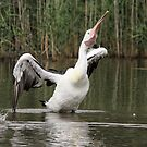 Shake Rattle and no roll Pelican  by Kym Bradley