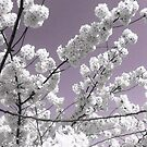 White petals Against A Lavender Sky by Jane Neill-Hancock