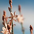 Gaura Plant by Stephen Knowles