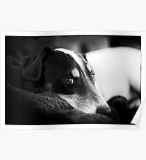Jack Russell Terrier Portrait in Black and White Poster