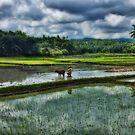 Rice Farming by Steve Baird