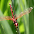 Closeup of Red Skimmer or Firecracker Dragonfly by taiche