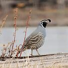 California Quail by Betty  Town Duncan