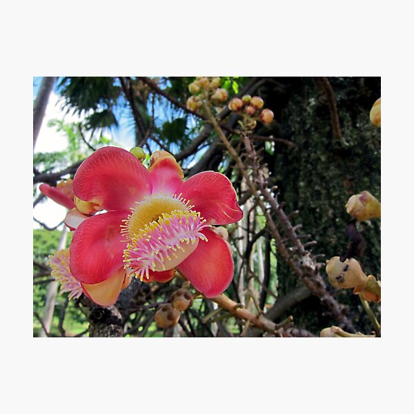 Cannonball Tree Photographic Print