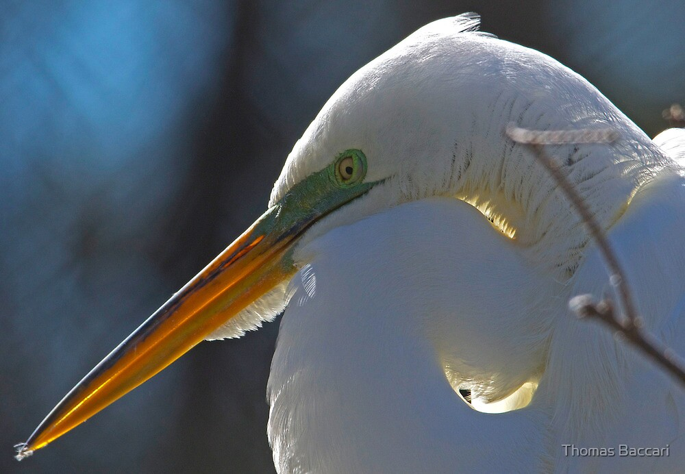 Great White Egret with the Sun Behind Her by TJ Baccari Photography