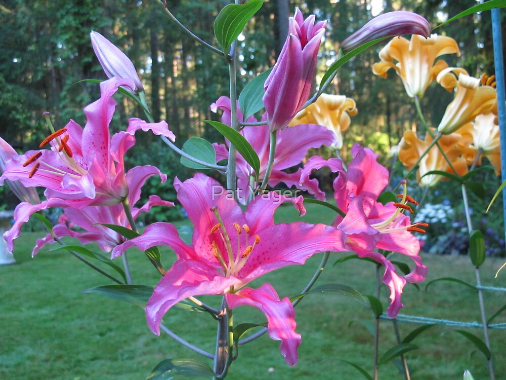 Pink and Gold Lilies by Pat Yager
