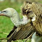Rüppell's Vulture by Jacqueline van Zetten