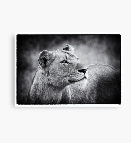 Lioness In Wait Canvas Print