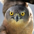 Grey Head Goshawk  by Kym Bradley