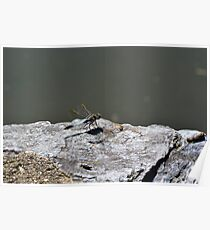 Resting Dragonfly Poster