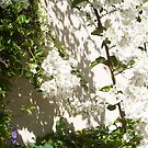 White Bougainvillea - 16 03 13 - One by Robert Phillips