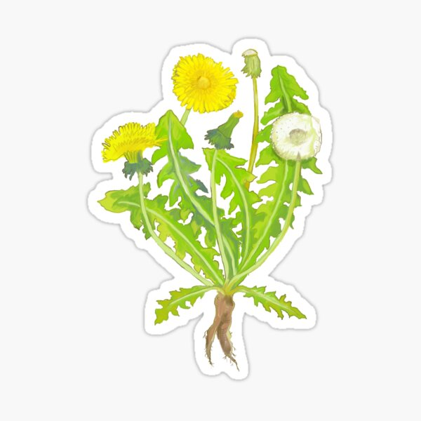 Dandelion Botanical Drawing Sticker