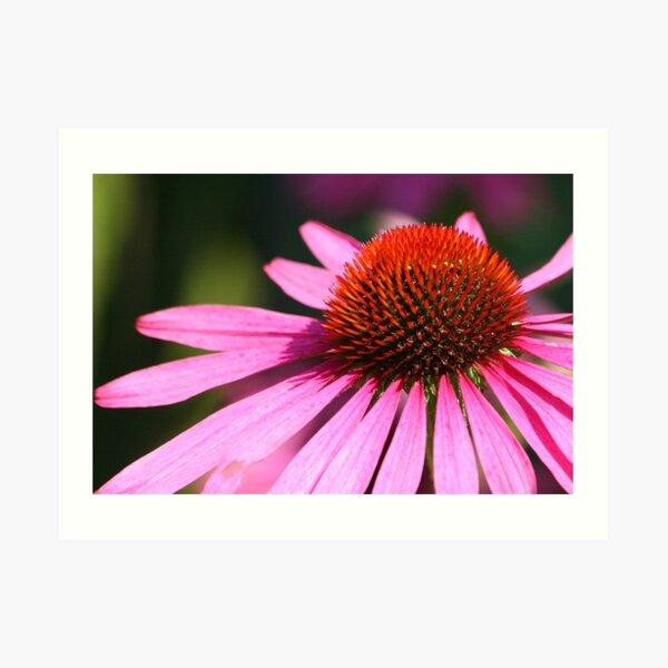 Pink Echinacea Flower Art Print