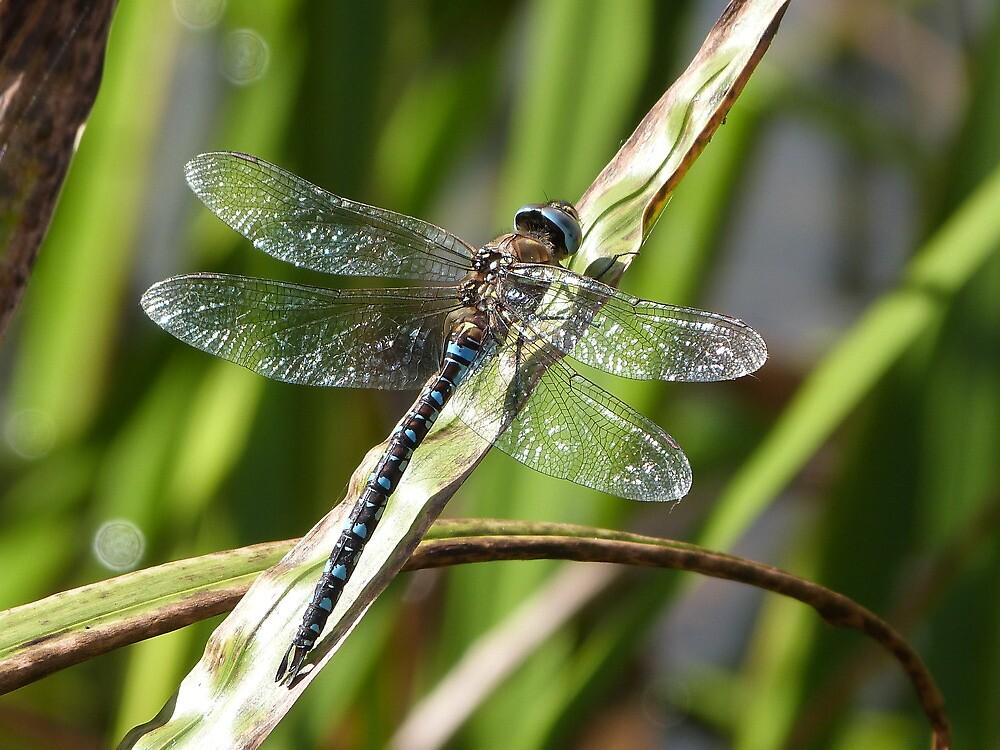 Sunbathing Dragonfly by fruitbat111