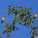 Cedar Waxwings by ArtistDCB