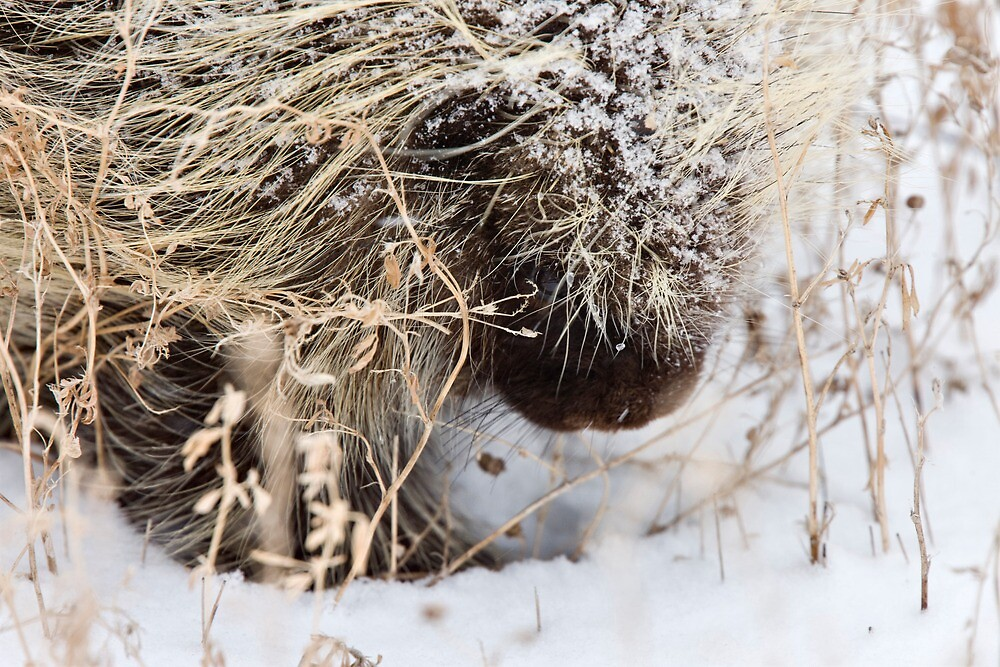 Porcupine in Winter Saskatchewan Canada snow and cold by pictureguy