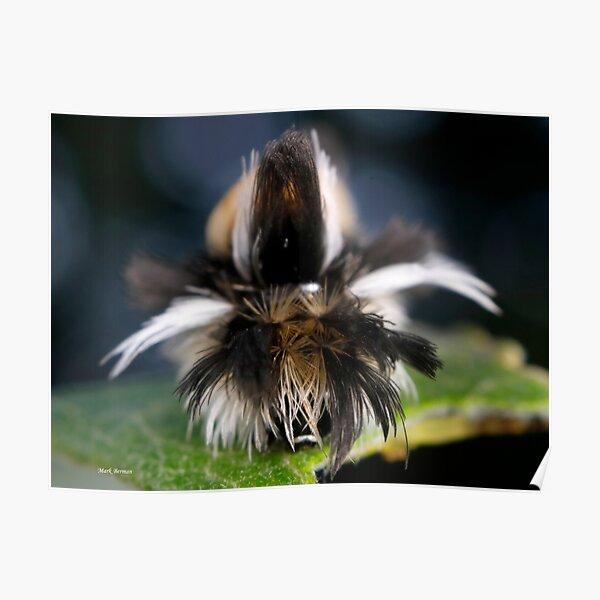 Milkweed Tussock (Tiger) Moth Hair Day Poster